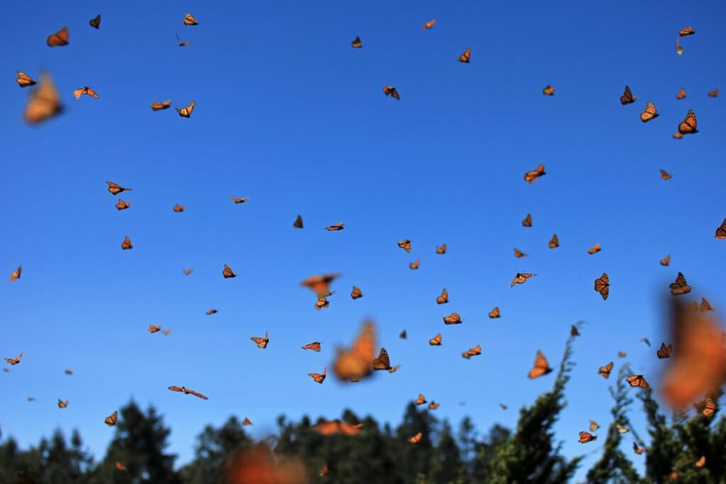 adventures in mexico - migration of monarch butterflie