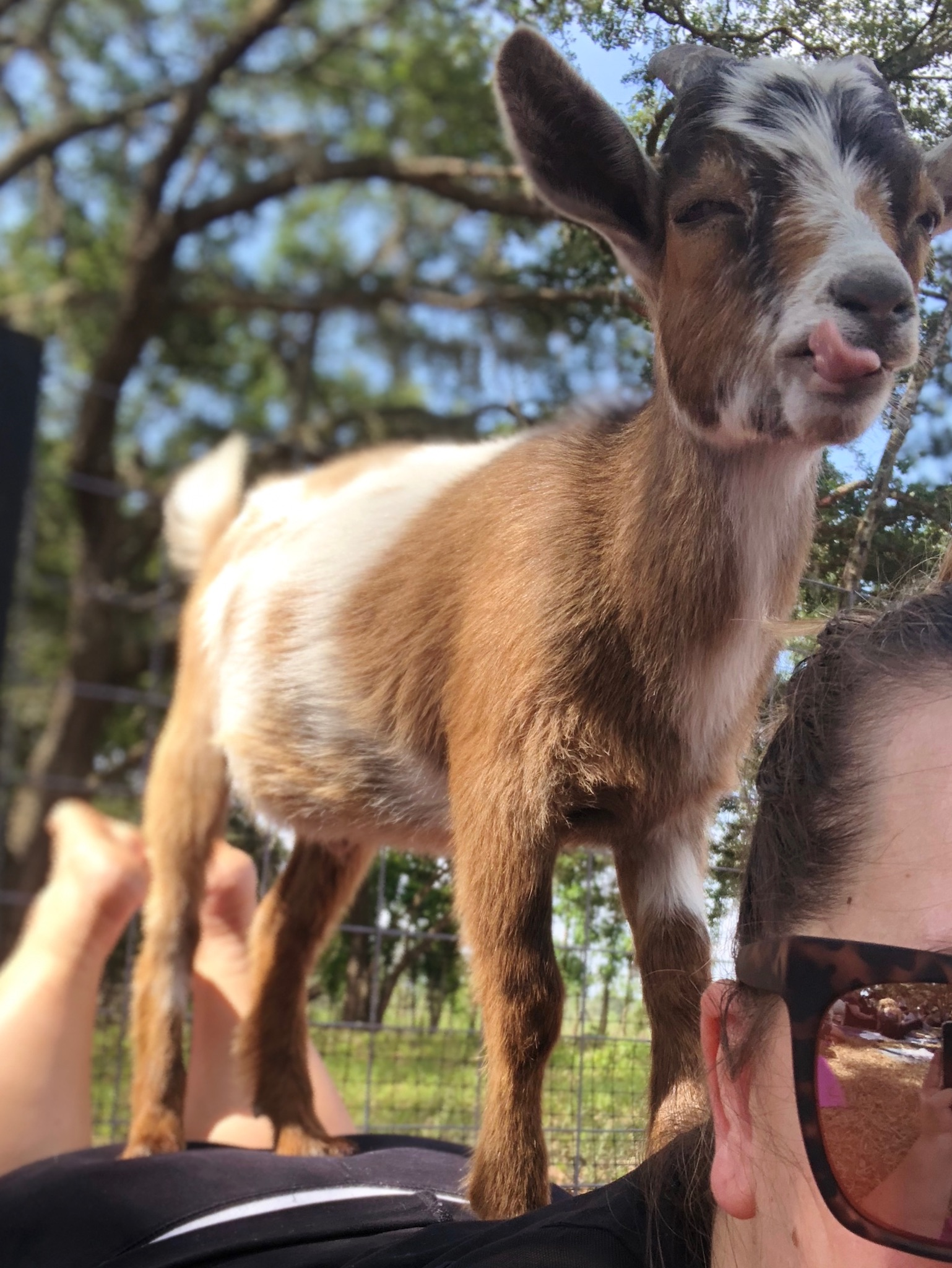 Goat with it's tongue out on a woman's back