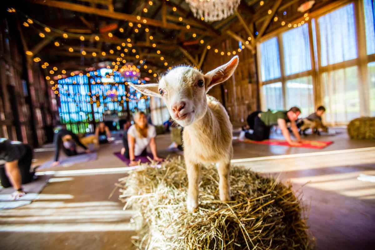 goat standing on a haystack in front of yogis at NY Goat Yoga